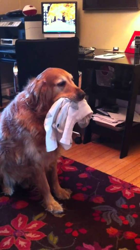 Golden Retriever Sock Recovery Program... still working out the bugs on this.